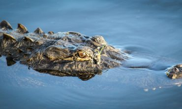 Floating Alligator, Alligator Investing